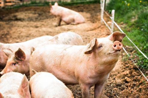 2.904 Ternak Babi Mati, Ini Langkah yang Diambil Pemprov NTT