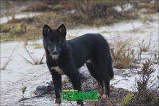 Cerita Dingo, Anjing Bernyanyi Papua yang Viral, Dianggap Sakral Suku Moni di Pegunungan Carstensz