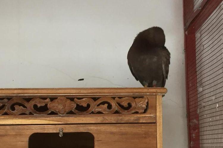 Burung Merpati Jayabaya, di Kalimulya, Cilodong, Depok, Jawa Barat, Kamis (4/7/2019).