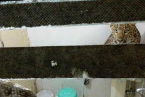 Seekor Macan Tutul Masuk Kamar Hotel Saat Penghuni Tidur