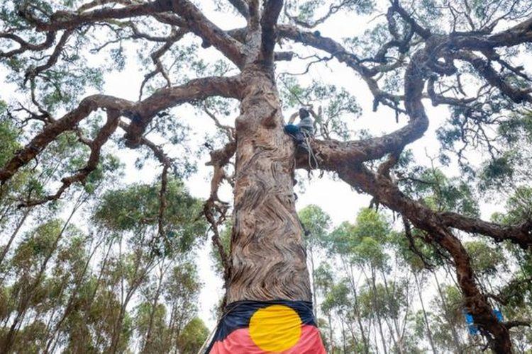 Salah satu pohon yang dilindungi di Djab Wurrung, Australia. Pemerintah setempat menebang pohon yang dianggap keramat tersebut untuk membangun jalan raya, dan menuai kemarahan publik Australia.