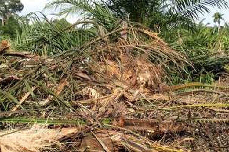 Tanaman sawit milik warga Desa Sumber Batu, Kecamatan Meureubo, Kabupaten Aceh Barat, hancur dirusak kawanan gajah liar, Rabu (5/10/16).