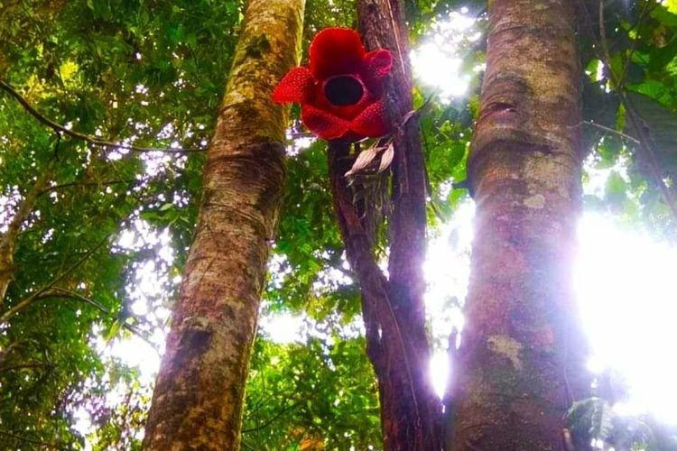 Bunga Rafflesia langka mekar di ketinggian 10 meter