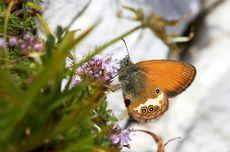 Setelah 150 Tahun, Kupu-kupu Inggris ini Kembali dari Kepunahan