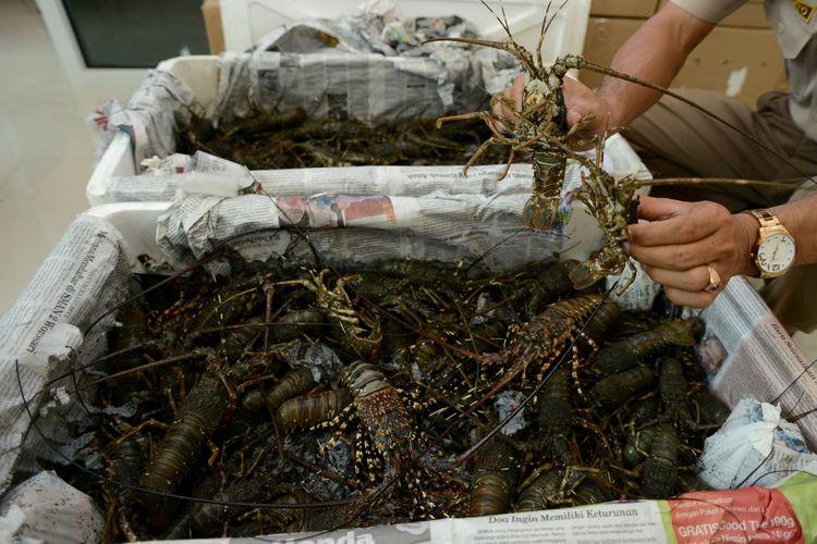 Upaya Penyelundupan Lobster - Haryanto, penyidik pada Kantor Karantina Ikan Adisucipto, menunjukkan lobster (Panullirus spp) yang sebelumnya akan diselundupkan di Stasiun Karantina Ikan, Pengendalian Mutu, dan Keamanan Hasil Perikanan Kelas I Yogyakarta, Sleman, DI Yogyakarta, Kamis (1/10/15). Upaya penyelundupan 534 ekor lobster dengan nilai sekitar Rp 500 juta melalui pesawat dengan tujuan Singapura berhasil digagalkan. Lobster tersebut selanjutnya akan dilepas kembali di perairan Pantai Sepanjang, Gunung Kidul, pada hari ini.    Kompas/Ferganata Indra Riatmoko (DRA) 01-10-2015  DIMUAT  2/10/15 HAL  18 *** Local Caption *** Upaya Penyelundupan Lobster - Haryanto, penyidik pada Kantor Karantina Ikan Adisucipto, menunjukkan lobster (Panullirus spp) yang sebelumnya akan diselundupkan di Stasiun Karantina Ikan, Pengendalian Mutu, dan Keamanan Hasil Perikanan Kelas I Yogyakarta, Sleman, DI Yogyakarta, Kamis (1/10). Upaya penyelundupan 534 ekor lobster dengan nilai sekitar Rp 500 juta melalui pesawat dengan tujuan Singapura berhasil digagalkan. Lobster tersebut selanjutnya akan dilepas kembali di perairan Pantai Sepanjang, Gunung Kidul, pada hari ini.    Kompas/Ferganata Indra Riatmoko (DRA) 01-10-2015