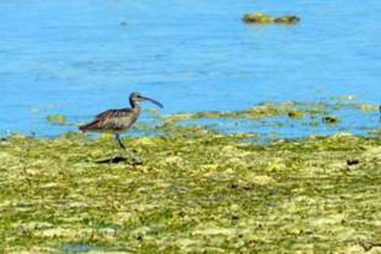 Gajahan Penggala akhirnya terlihat di wilayah Gorontalo pada awal tahun ini. Burung migran ini berasal dari wilayah Rusia utara atau Siberia, bermigrasi ke arah khatulistiwa karena tempat berbiaknya dilanda musim dingin dan untuk mencari makan