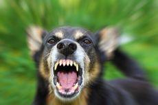 Balita Tewas Setelah Diserang Anjing Penjaga di Bagian Alat Kelaminnya