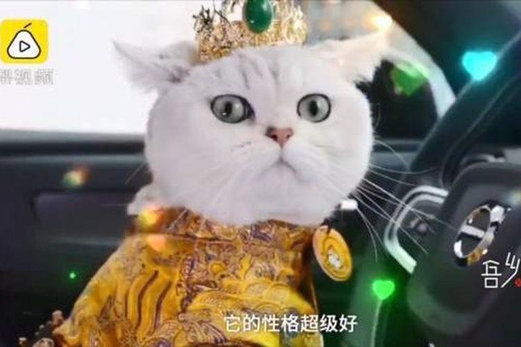 Seekor kucing dari Chongqing, China, bernama Mao Mao bekerja sebagai model kucing profesional.