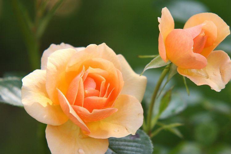 Ilustrasi bunga mawar oranye.
