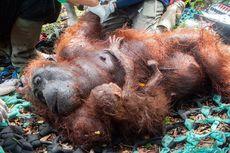 Hutan Terbakar, Ibu dan Anak Orangutan Bertahan Hidup Tanpa Makanan Cukup