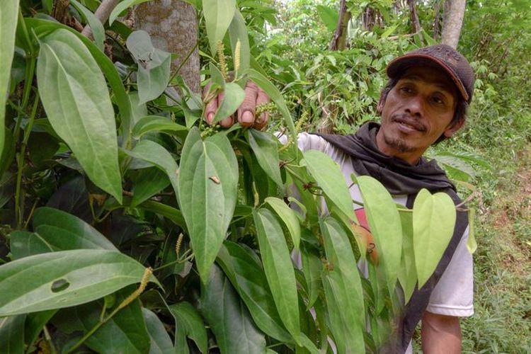 Suparno dan kebun kemukusnya di Desa Muncar, Kabupaten Temanggung. Produksi nasional buah kemukus saat ini hanya sekitar 223 ton/tahun, dengan luasan 517 hektare. Padahal kemukus termasuk rempah berharga tinggi.