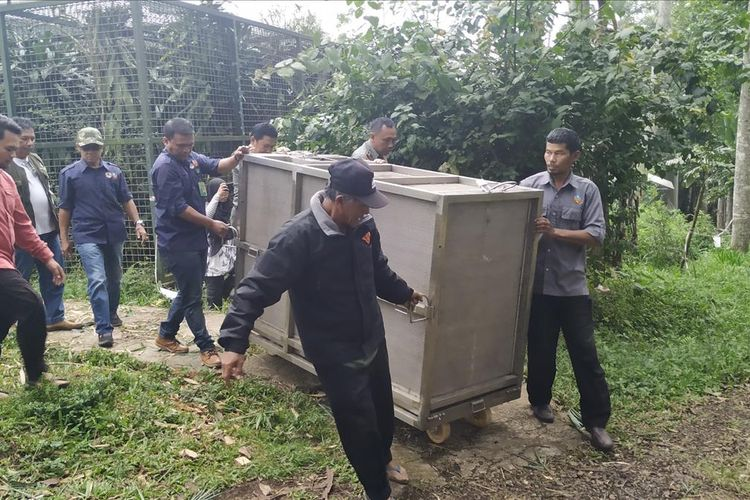 Macan tutul/kumbang (Panthera pardus melas) dalam kandang angkut siap dievakuasi ke TNGC di PPSC Nyalindung, Sukabumi, Jawa Barat, Senin (8/7/2019)