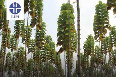 Kini Hadir, Pohon Jati Platinum Hasil Mutasi Sinar Gamma