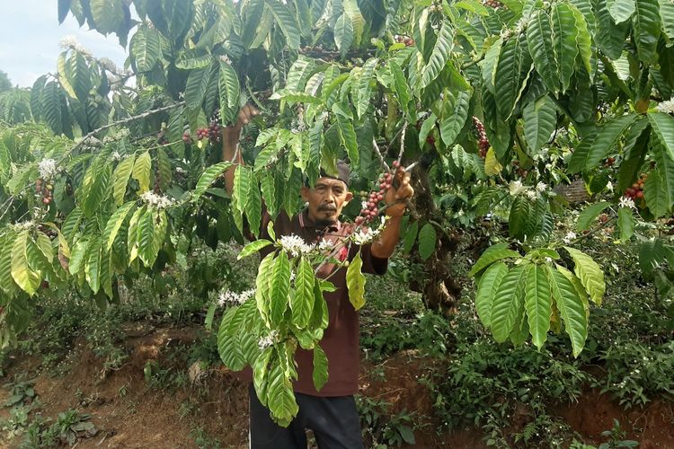 Sujudi, petani kopi Patean Kendal, saat memanen kopinya. KOMPAS.COM/SLAMET PRIYATIN