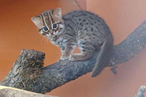 Spesies Kucing Terkecil di Dunia Lahir di Suaka Margasatwa Inggris