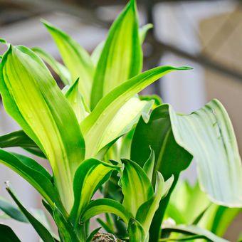 Ilustrasi tanaman hias Dracaena fragrans atau sri gading.