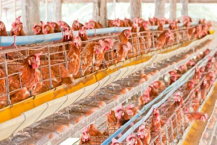 Ilustrasi peternakan ayam.