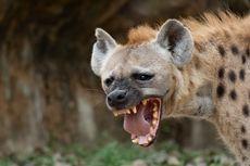 Seorang Pria Diseret Kawanan Hyena Saat Tidur, Ditemukan Tinggal Kepala