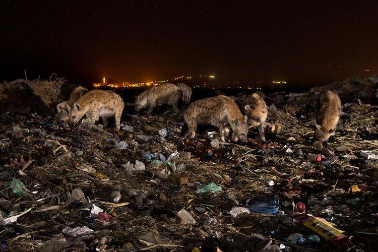 Sekumpulan hyena mencari makan di antara pembuangan sampah Mekelle, Ethiopia.