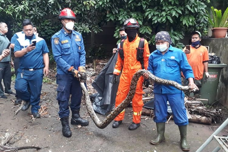 The West Jakarta Fire and Rescue Agency members have evacuated a two-meter-long python from a residential area in Rawa Belong on Wednesday, January 6, 2020.