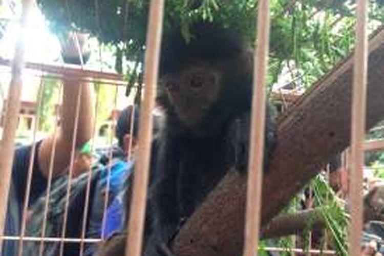 Lutung Jawa yang diamankan dari penjual satwa dilindungi di Surabaya, Jawa Timur, Kamis (4/8/2016).
