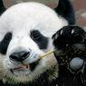 Kabar Baik, China Umumkan Panda Raksasa Tidak Lagi Terancam Punah