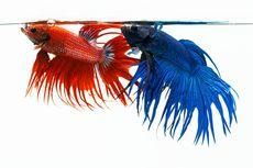 Dosen IPB: Ini Cara Bedakan Ikan Cupang Jantan dan Betina