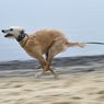 Sempat Ditelantarkan, Kini Phelan Jadi Anjing Tercepat di Amerika