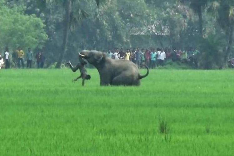 Seekor gajah menyerang seorang pria di desa Baghasole, distrik Burdwan, negara bagian Bengal Barat, India pada Maret 2016.