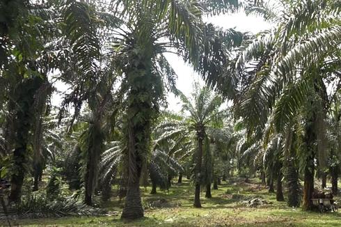 Wamen ATR: Harusya Enggak Ada Sawit dalam Kawasan Hutan. Harusnya Dilepasin...