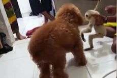 Video Viral Seekor Owa Mati Diduga akibat Diadu dengan Anjing di Rumah Kapolres, Ini Faktanya