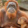 Pertama dalam 15 Tahun, Bayi Orang Utan Ini Lahir di Kebun Binatang Hagenbeck