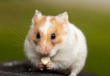 Bolehkah Hamster Makan Keju?