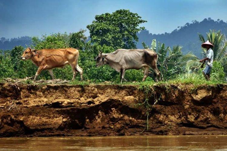 Seorang petani menuntun sapi kurus di tepi Sungai Paguyaman. Ribuan petani miskin Gorontalo akan mendapat gelontoran 800 ribu ekor ayam bantuan Kementerian Pertanian.