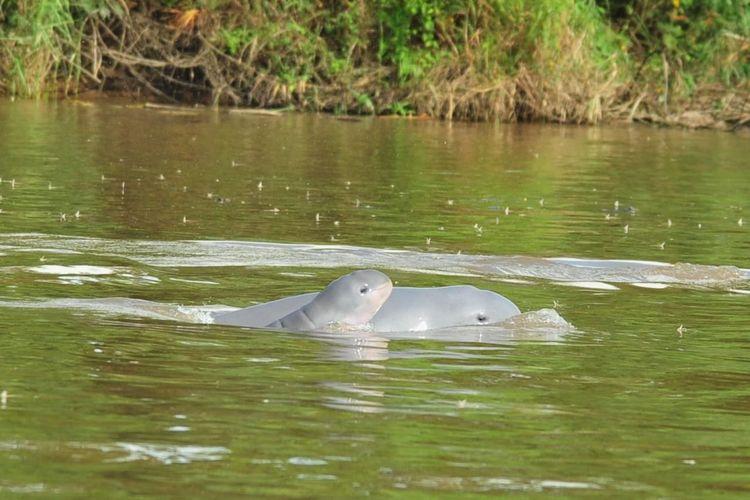 Pesut mahakam saat tertangkap kamera di wilayah perairan Sungai Mahakam Kutai Kertanegara, Kaltim.