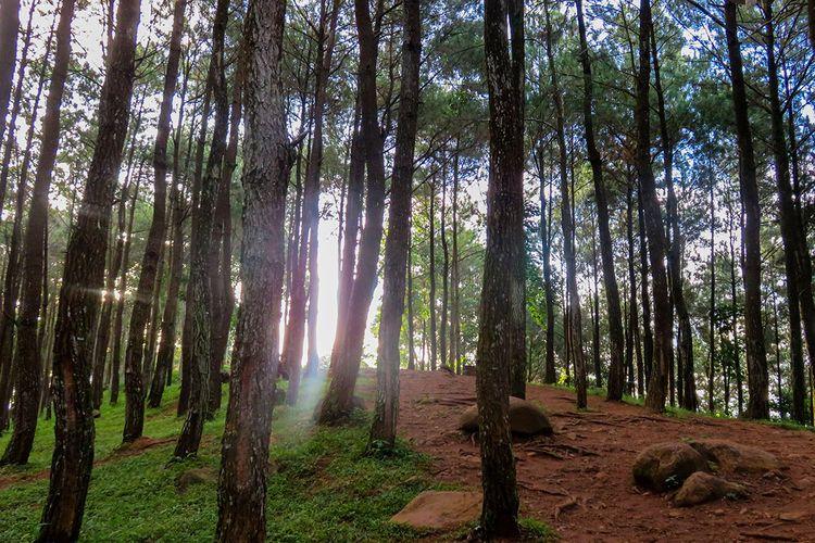 Hutan pinus di obyek wisata Puncak Becici.