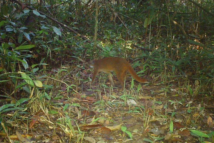 Kucing merah yang tertangkap kamera jebak di hutan sungai wain, Balikpapan, Kaltim, 2016.
