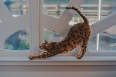 Kucing Gemar Menunjukkan Bokong, Apa Artinya?
