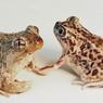 Kurang Subur, Kodok Betina Ini Pilih Kawini Jantan dari Spesies Lain