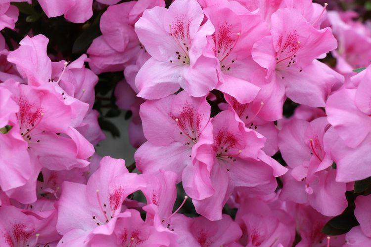 Ilustrasi bunga Azalea.