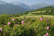 Pecinta Mawar? Bulgaria Bisa Jadi Pilihan Destinasi Wisata