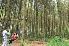 Hutan Pinus di Lereng Merbabu Ini Suasananya Keren untuk