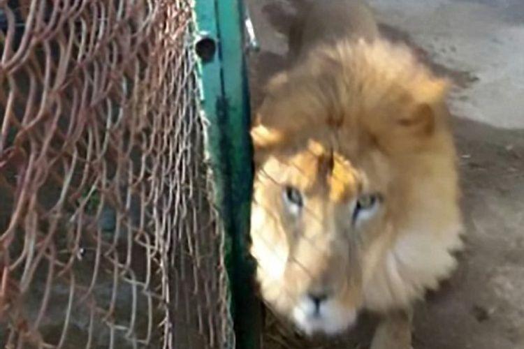 Kimba, singa berusia 22 tahun yang menerkam petugas kebun binatang bernama Gustavo Serrano Carabajal di Tulancingo, Meksiko.