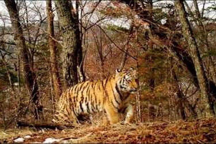 Harimau Siberia.