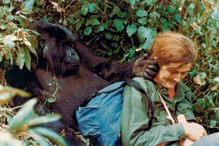 Dian Fossey bersama Puck, seekor gorila gunung, di Taman Nasional Gunung Api, Rwanda. (Dian Fossey Gorilla Fund International/gorillafund.org)