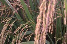 Tanam Varietas Inpari, Produksi Padi Petani Kalukku Meningkat