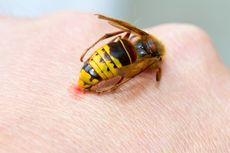 Tips Sederhana untuk Mencegah dan Mengobati Sengatan Lebah dan Tawon