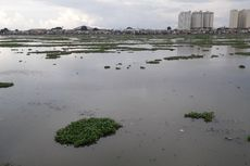 Petugas Akui Kesulitan Angkut Eceng Gondok dari Waduk Pluit