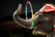 Pemerintah Denmark Tebus 4 Gajah Sirkus Terakhir Senilai Rp 22 Miliar untuk Dipensiunkan
