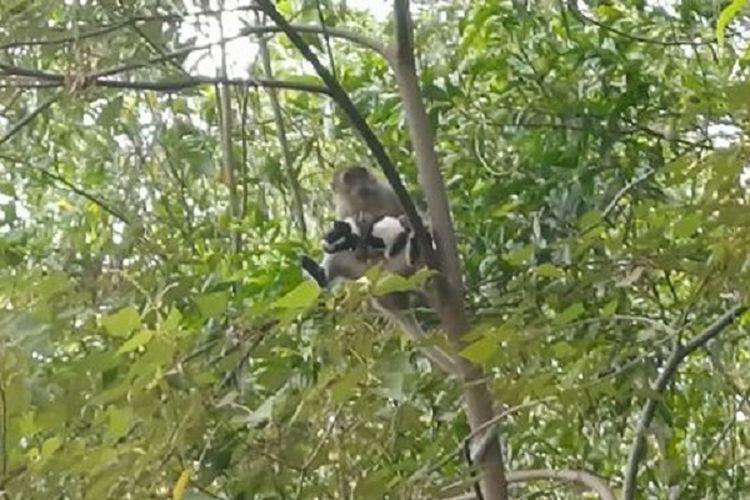 Ini adalah momen seekor anak anjing bernama Saru diculik seekor monyet liar di Malaysia. Saru akhirnya dibebaskan setelah 3 hari disandera si monyet.
